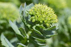 Rhodiola bloem